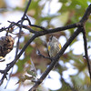 Yellow-rumped Warbler <br /> City of Bridgeton <br /> St. Louis County, Missouri <br /> 2010-10-19