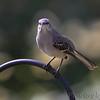 Northern Mockingbird   <br /> City of Bridgeton <br /> St. Louis County, Missouri <br /> 2010-10-18