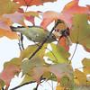 Orange-crowned Warbler <br /> City of Bridgeton <br /> St. Louis County, Missouri <br /> 2010-10-19
