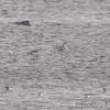 American Golden Plover and Killdeer <br /> Ellis Bay <br /> Riverlands Migratory Bird Sanctuary
