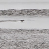 Dunlin <br /> Ellis Bay <br /> Riverlands Migratory Bird Sanctuary