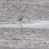 American Golden Plover <br /> Ellis Bay <br /> Riverlands Migratory Bird Sanctuary