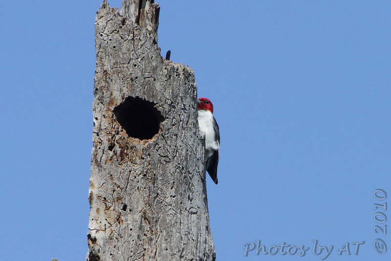 Red-headed Woodpecker <br /> Peruque Creek Road <br /> St. Charles County <br /> 2010-09-03