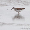 Lesser Yellowlegs <br /> along the Confluence Road <br /> Riverlands Migratory Bird Sanctuary