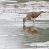 Long-billed Dowitcher <br /> along the Confluence Road <br /> Riverlands Migratory Bird Sanctuary