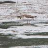 ? Semipalmated Sandpiper ?<br /> along the Confluence Road <br /> Riverlands Migratory Bird Sanctuary