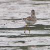 Stilt Sandpiper <br /> along the Confluence Road <br /> Riverlands Migratory Bird Sanctuary