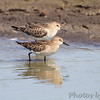 Baird's Sandpipers <br /> Entrance Pool <br /> Confluence State Park