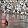 Lesser Black-backed Gull <br /> Carlyle Lake