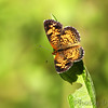 Pearl Crescent <br /> Shaw Nature Reserve
