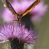 Great Spangled Fritillary <br /> Shaw Nature Reserve