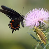 Pipevine Swallowtail (male)<br /> Shaw Nature Reserve