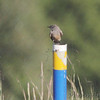 Say's Phoebe <br /> Camden County (Lee C. Fine) Airport
