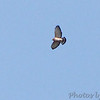 "Broad-winged Hawk <br> Lake of the Ozarks State Park  <br> ASM Fall Meeting  <br>  No. 290 on my Lifetime List of Birds  Photographed in Missouri <a href=""/Birds/Missouri-Bird-Photos-A-G/i-KG7gt56"">here</a>"