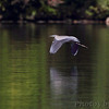 Great Blue Heron <br /> Lake of the Ozarks State Park <br /> ASM Fall Meeting