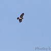 Red-shouldered Hawk <br /> Lake of the Ozarks State Park <br /> ASM Fall Meeting