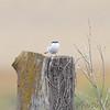 Loggerhead Shrike <br /> Taberville Prairie