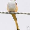 Scissor-tailed Flycatcher <br /> Just north of Taberville Prairie