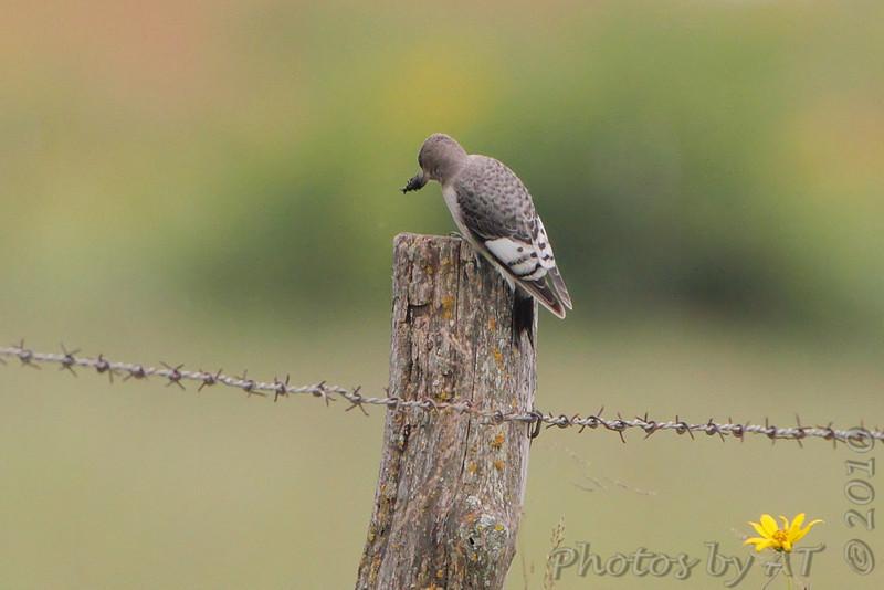 Juvenile Red-headed Woodpecker <br /> Taberville Prairie