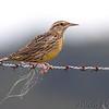 Western Meadowlark <br /> Taberville Prairie