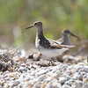 Pectoral Sandpiper <br /> Four Rivers Conservation Area