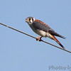 American Kestrel <br /> Four Rivers Conservation Area