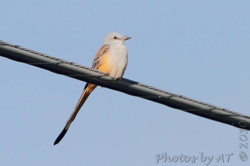 Scissor-tailed Flycatcher <br /> Just north of Prairie State Park