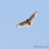 Red-shouldered Hawk <br /> Four Rivers Conservation Area