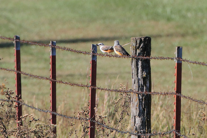 Scissor-tailed Flycatchers <br /> Just north of Prairie State Park