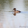 Ring-necked Duck <br /> Four Rivers Conservation Area