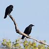 Americans Crows <br /> Fall Creek Inn