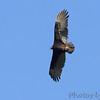 Turkey Vulture <br /> Boat ramp below Table Rock Dam