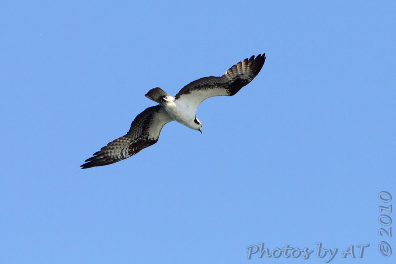 Osprey <br /> Table Rock Lake above Dam