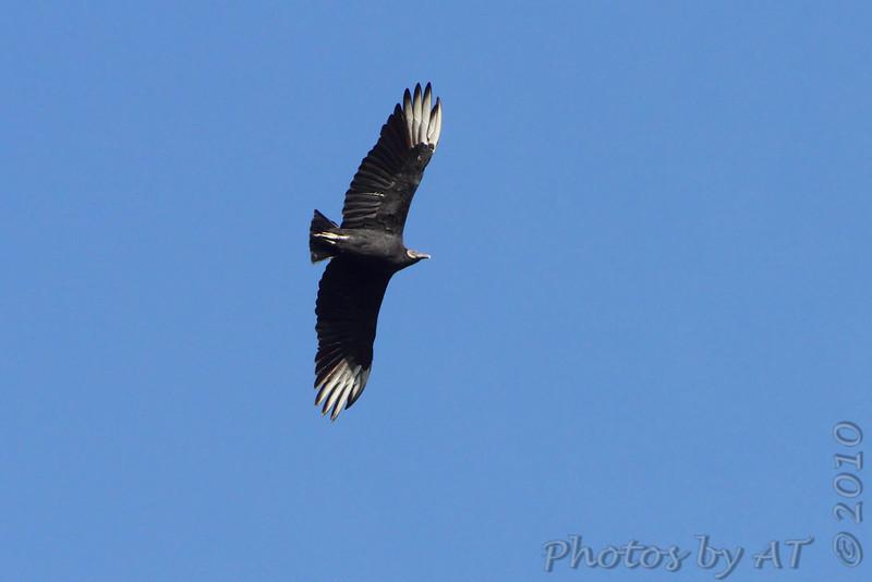 Black Vulture <br /> Boat ramp below Table Rock Dam