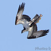 Osprey with Brown trout <br /> Table Rock Lake above Dam