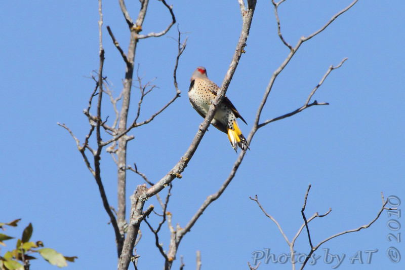 Northern Flicker  <br /> Table Rock Lake above Dam