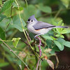 Tuffed Titmouse <br /> Boat ramp below Table Rock Dam