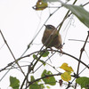 Carolina Wren <br /> Boat ramp below Table Rock Dam