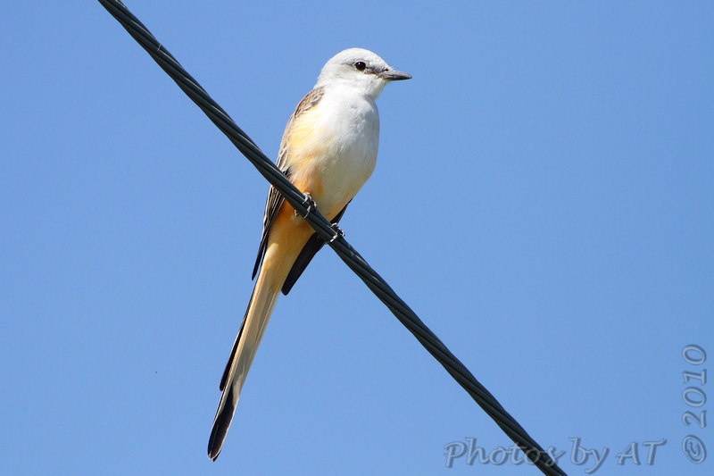 Scissor-tailed Flycatcher <br /> South end of Dam <br /> Viewing area below Table Rock Dam
