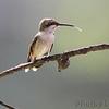 Ruby-throated Hummingbird <br /> Bridgeton, Mo. <br /> 9/20/11