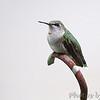 Ruby-throated Hummingbird <br /> Bridgeton, Mo. <br /> 9/11/10