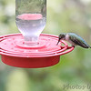 Ruby-throated Hummingbird <br /> Bridgeton, Mo. <br /> 9/01/10