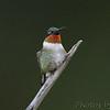 Ruby-throated Hummingbird <br /> Bridgeton, Mo. <br /> 09/05/10