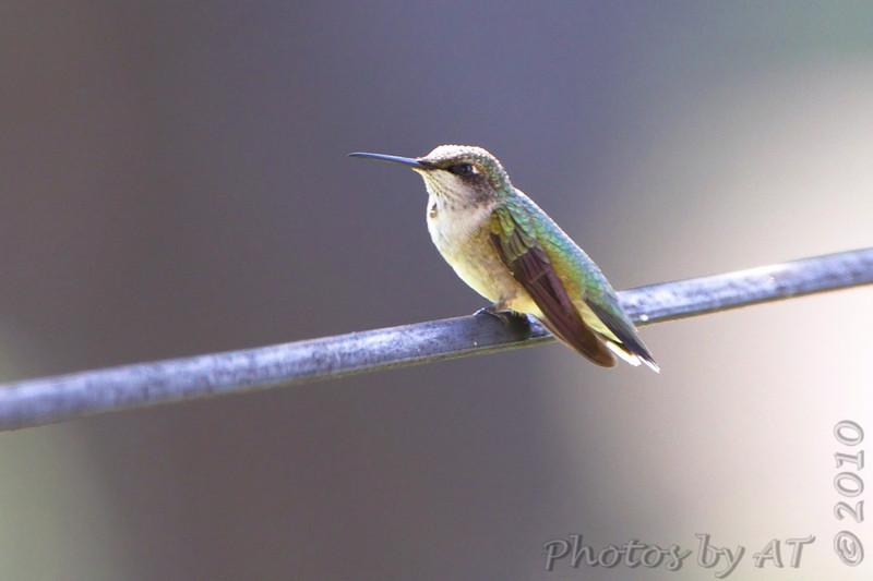 Ruby-throated Hummingbird <br /> Bridgeton, Mo. <br /> 9/20/2010
