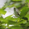 Chestnut-sided Warbler <br /> Hickory Woods Conversation Area <br /> 9-15-2010