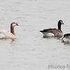 Canada Geese<br /> Ellis Bay <br /> Riverlands Migratory Bird Sanctuary <br /> 9-15-2010