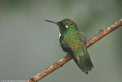 Wedge-billed Hummingbird