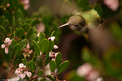 Anna's Hummingbird in Napa Valley