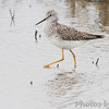 Lesser Yellowlegs <br /> Columbia Bottom Conservation Area