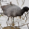 American Coot <br /> Columbia Bottom Conservation Area